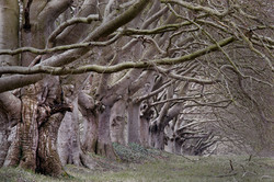 The Trees at Kingston Lacey