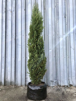 Italian Cypress Installed