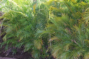 Great Selcetion of Areca Palm for sale in Pinellas County