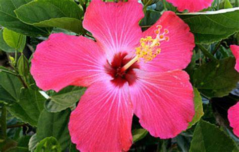 Hibiscus Bush (Many Varieties)
