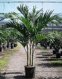 Christmas Palm / Adonidia Palm