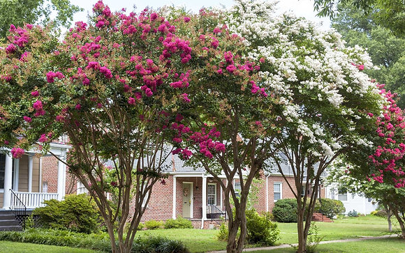 Crape Myrtle installed