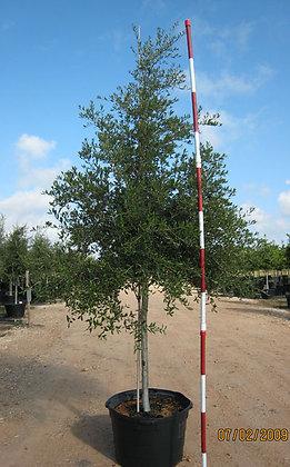 Live Oak Tree Installed