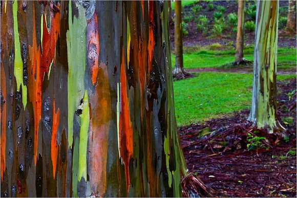 Rainbow Eucalyptus Installed