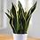 Thumbnail: Sansevieria ( Snake Plant )