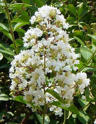 Crape Myrtle Small (Pick Up)