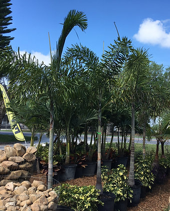 Foxtail Palm Single