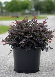 "Loropedalum""Ruby Red"""