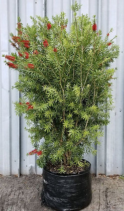 Bottle Brush Tree Installed