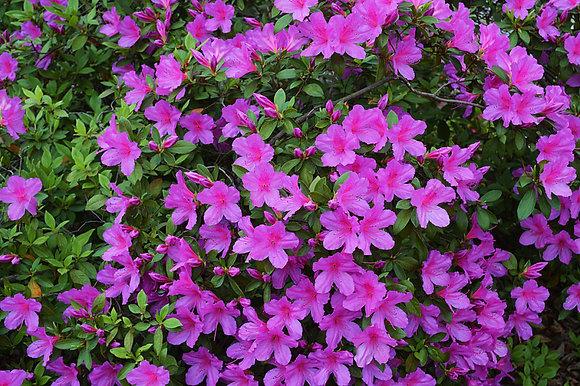 Lavender Formosa