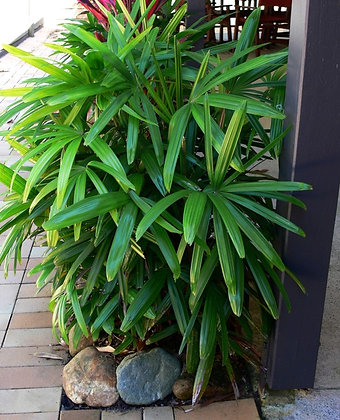 Lady / Rhaphis Palm