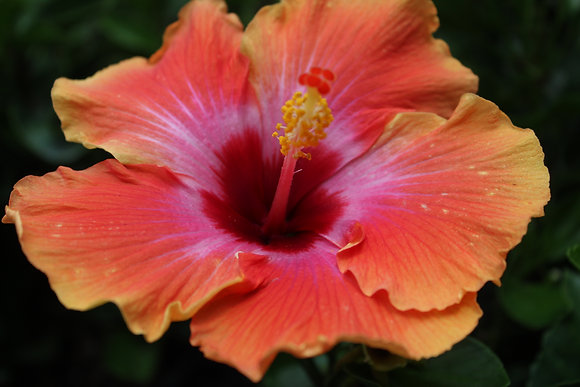 Hibiscus Hybrid (Fiesta)