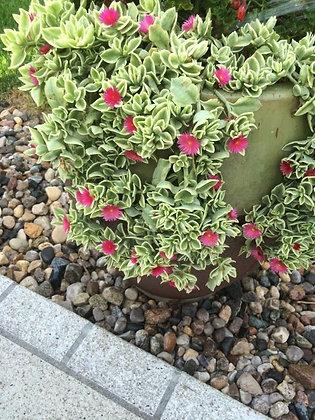 Baby Sun Rose (California Rose)