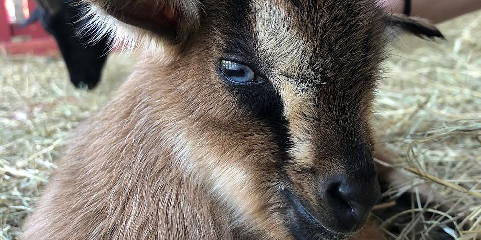 Goat Yoga Aug. 21st