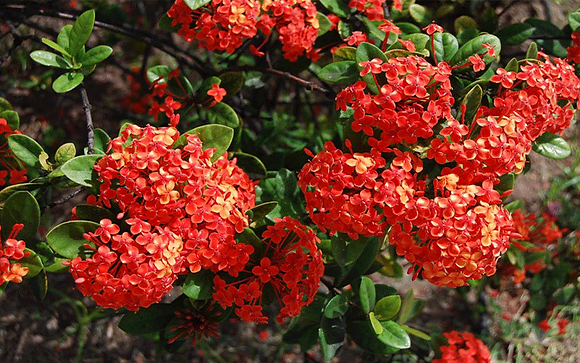 Ixora Maui (Red & Yellow)
