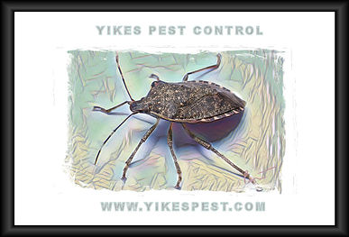 Evansville Pest Control STINK BUG.jpg