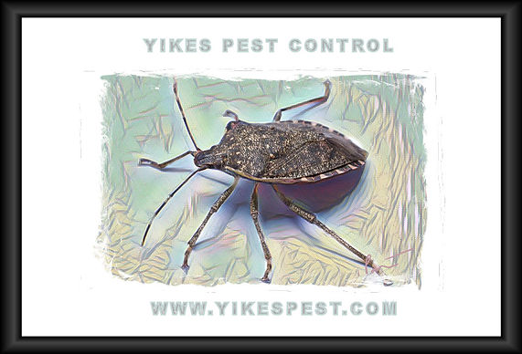 Brown Marmorated Stink Bug STINK BUG Posey County, Indiana.  TOp 10 pest control near me