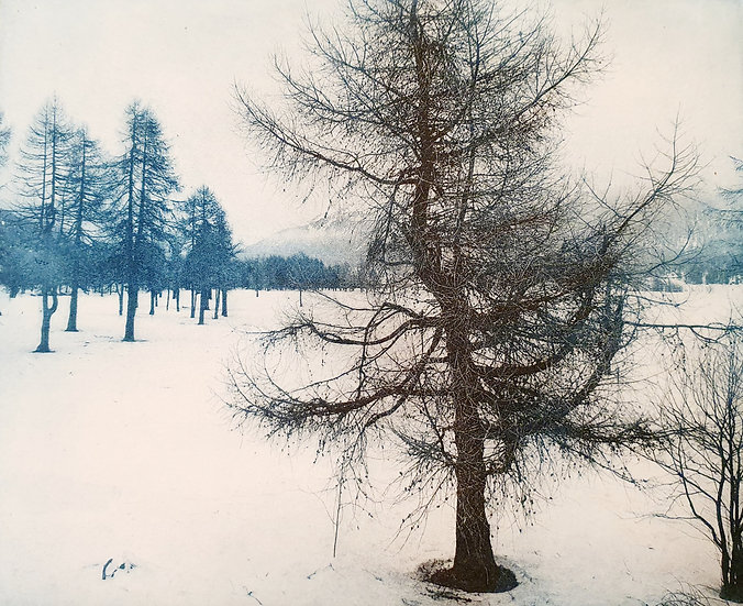 Les arbres de Sils Maria