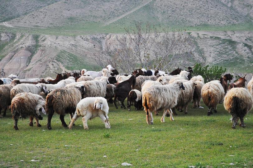 sheep deh balmini.jpg