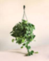 Scindapsus-pictus-basket.jpg