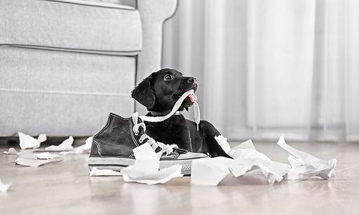 Hund kann nicht alleine bleiben, Alleine bleiben will gelernt sein.Hund zerkaut Gegenstände und jault wenn er alleine bleibt. Alleine-bleibenTraining in der Hundeschule Neuss und Düsseldorf. Hundeschule Hundtutgut.