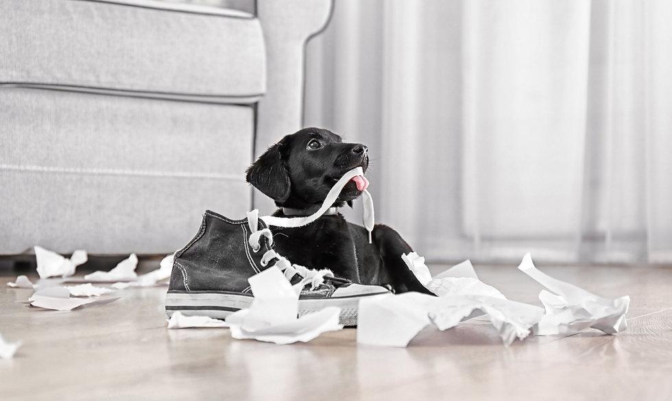 hund wohnzimmer ungehorsam shutterstock_