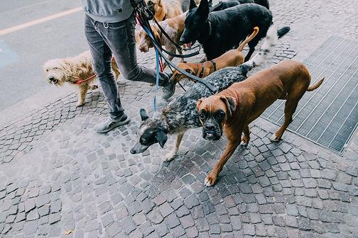 Wenn Hunde an der Leine zerren hat das viele Gründe. Wir zeigen dir Schritt für Schritt, wie du deinem Hund das Leinenzerren und Leinenziehen abgewöhnst. Gute Hund Führung beginnt an der Leine. Lockeres an der Leine gehen erfordert Training unter steigender Abwechslung. Leinenführigkeit lernen in der Hundeschule Neuss und Düsseldorf Hundtutgut