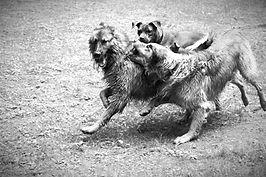 Sozialverhalten, Resozialisierung beim Hund in der Hundeschule Neuss und Düsseldorf. Unterscheidung bei Hunden zwischen Spiel und Aggression, woran erkenne ich das Hunde spielen auch wenn sie raufen. Erkennungszeichen Spiel, die typischen Merkmale des Sozialspiels beim Hund in der Hundeschule Hundtutgut.jpg