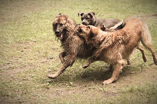 Aggression beim Hund, wie erkenne ich ob Hunde spielen oder aggressiv sind, Raufende Hund, Aggression beim Hund