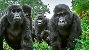 #WallStreetBets Traders Donate $300K to Adopt Gorillas From Dian Fossey Fund