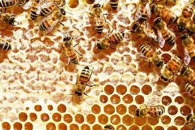 bees-345628_960_720.webp