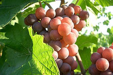 Pinot-Gris-grapes.jpg