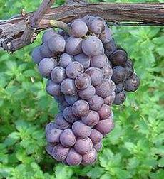 pinot grigio grapes.jpg