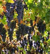220px-Grapes_growing_in_Valpolicella.jpg