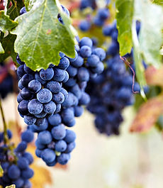 barbera grapes.jpg