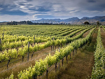 why-is-new-zealand-sauvignon-blanc-so-po