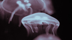 What space jellyfish tell us ...