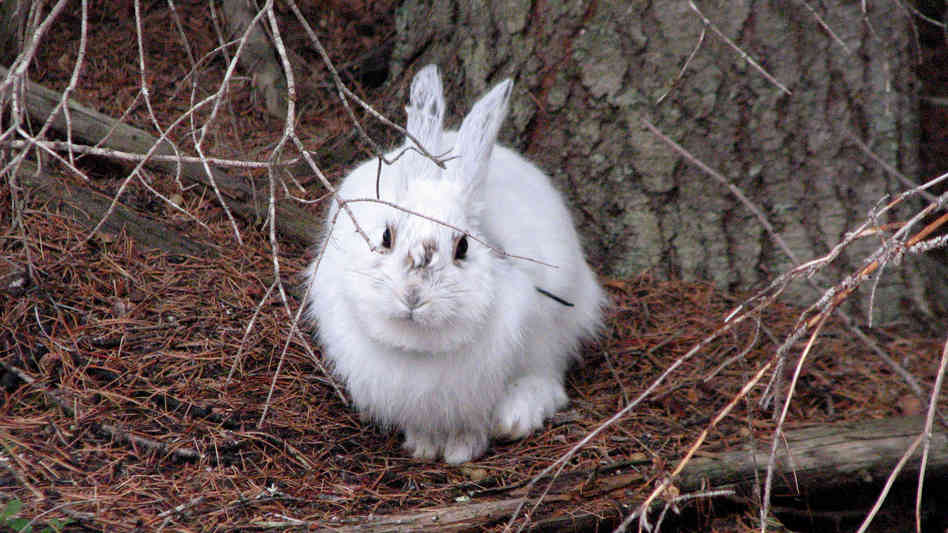 Climate Change Leaves Hares ...