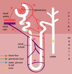 Homeostasis - Kidneys