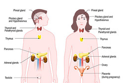 7 Facts About Human Hormones ...