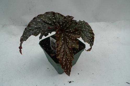 Begonia Angle wing