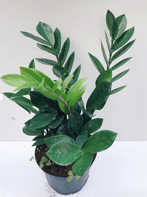 ZZ Plants (Zanzibar Gem)