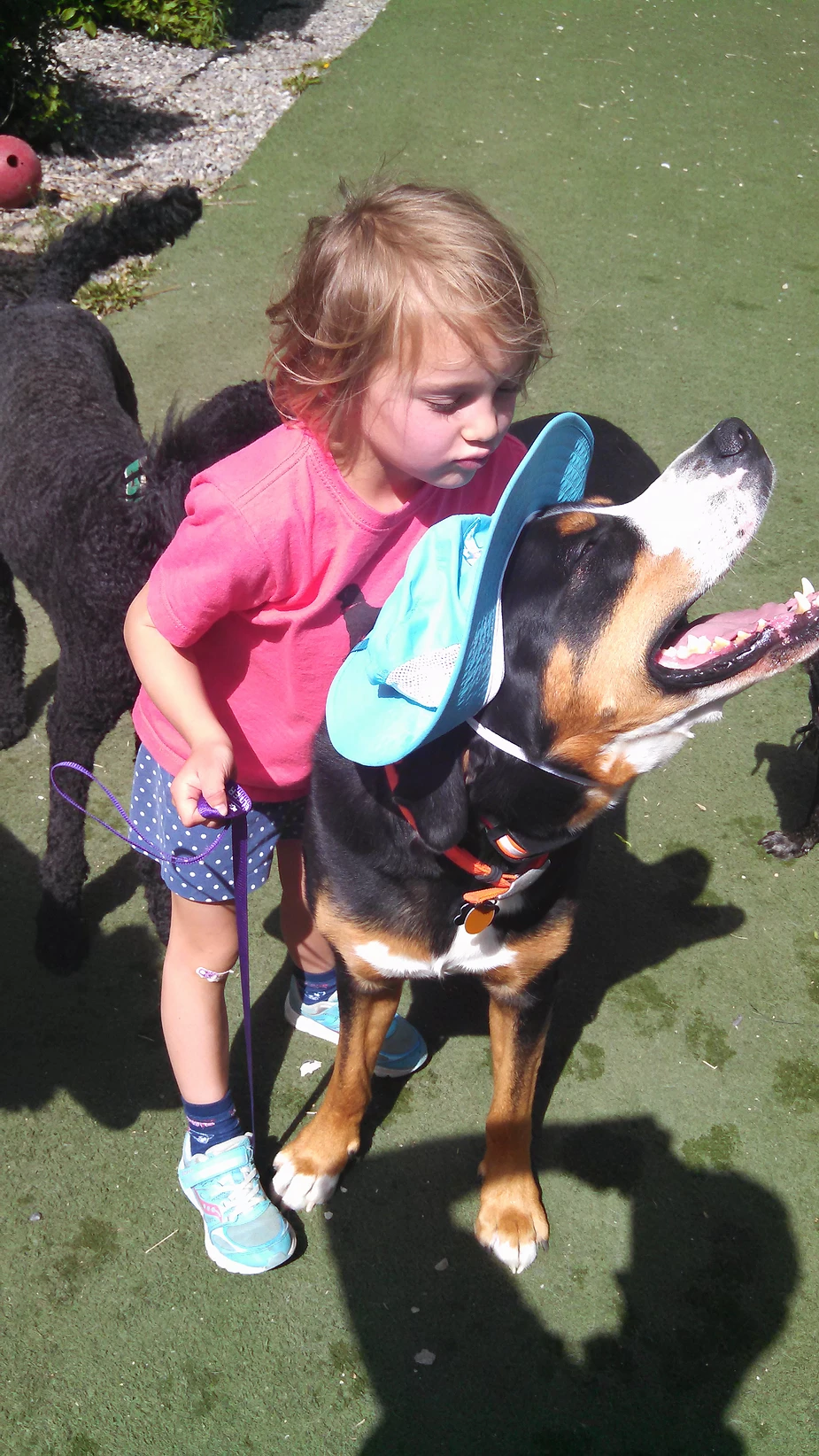 A small female child holds a Swiss Mountain Dog's leash while the dog wears her blue hat.