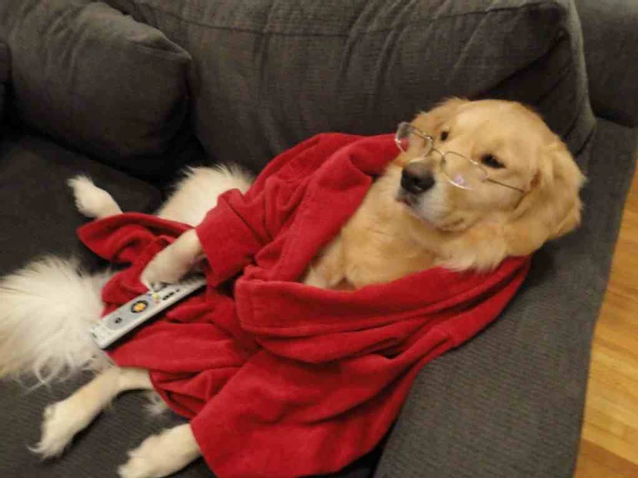 Golden retriever dog lays on couch wearing wire-rimmed glasses and a red robe. He appears to be holding a TV remote.