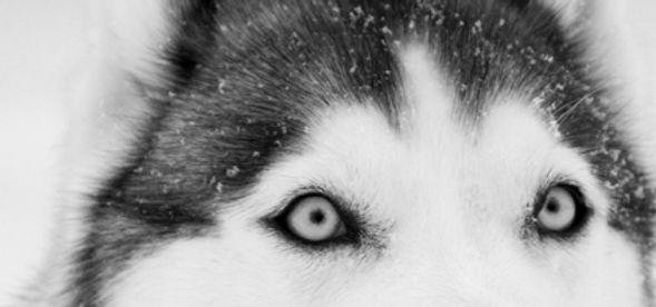 Husky Close Up