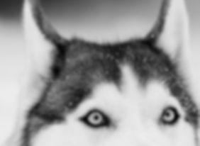 Husky Close Up