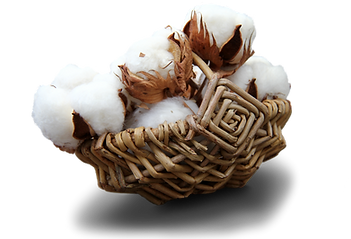 Cotton blossoms in a woven basket