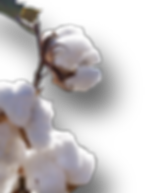Organic Cotton Blossoms