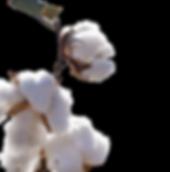 Organic cotton blossoms.