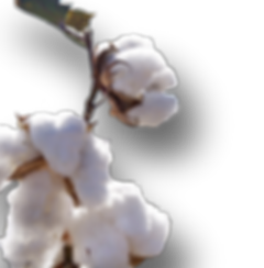 Organic cotton blossoms.